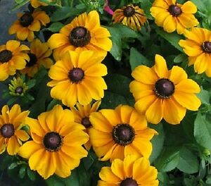 Rudbeckia-Seeds-To-To-Gold-50-Seeds-Perennial