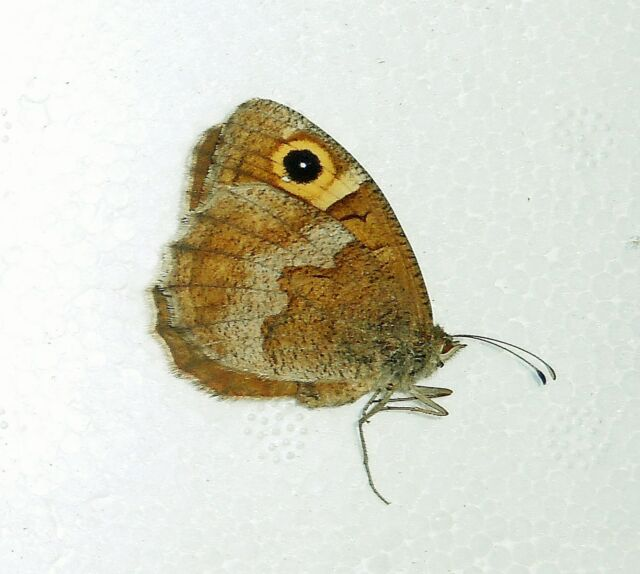 TOMARES BALLUS ssp.BALLUS***male***MOROCCO unmounted//papered