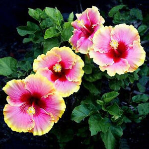 50x Mixed Color Hibiscus Flower Plant Seeds Beautiful Flower Garden