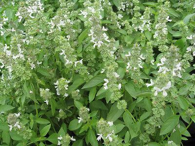Basil Lime 150 seeds (Ocimum americanum) Herb garden