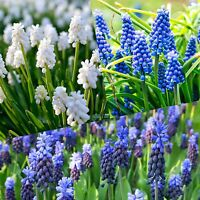 MUSCARI GRAPE HYACINTH Top Quality Flowering Size Bulbs (Ready To Plant)
