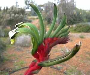Red-amp-Green-Kangaroo-Paw-50-Seeds-Drought-Tolerant-Evergreen-Clumping-Plant