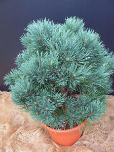 Silberkiefer-Waterer-Pinus-silvestris-Watereri-15-20cm-Nadelgehoelz-Zwergform