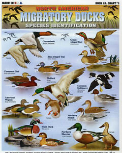Migratory ducks species id chart sale north american ducks