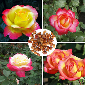 Image Is Loading 20pcs Love And Peace Rose Seeds Pink Amp