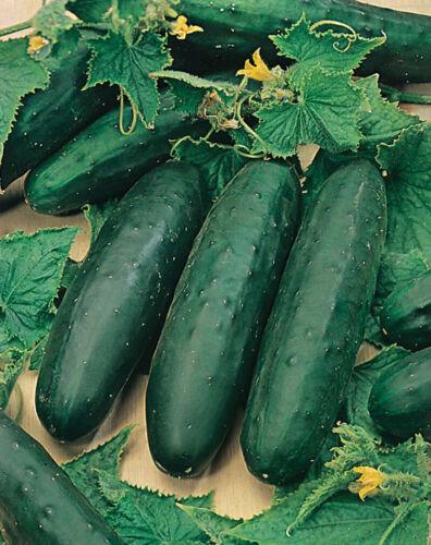 Cucumber /'MARKETMORE/' 15 Seeds HEIRLOOM spring summer vegetable garden NON-GMO