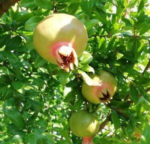 Granatapfel-Punica-granatum-die-Wunder-Vitamin-Frucht-der-Natur