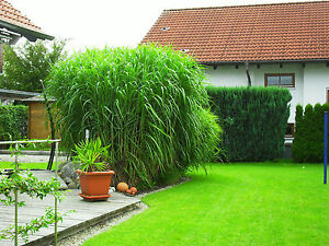 25 stk miscanthus rhizome chinaschilf elefantengras ebay. Black Bedroom Furniture Sets. Home Design Ideas