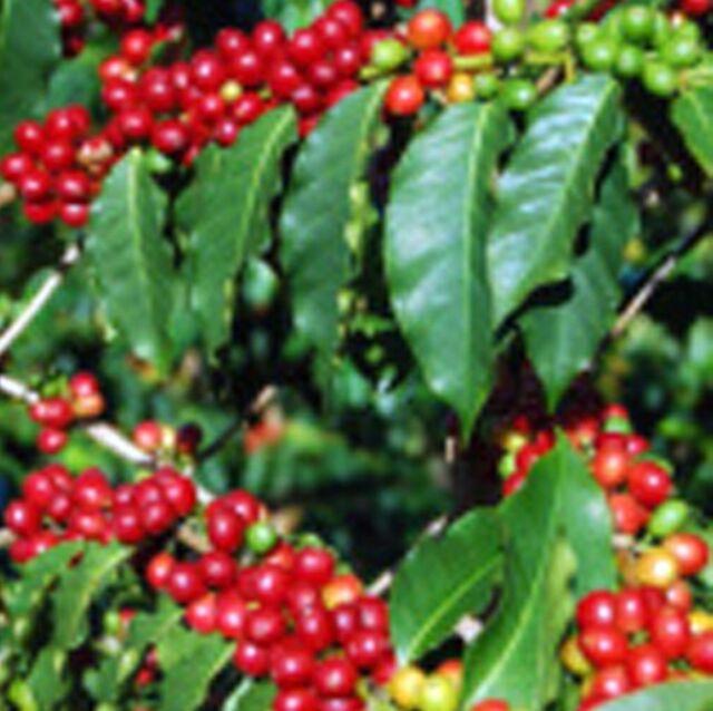 Green Coffee Beans Honduras Reserva Pacavita Organic
