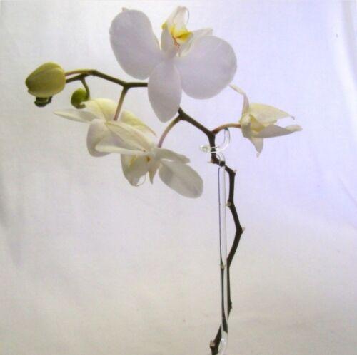 5 piezas de vidrio orchideenstab con 2 soportes 40cm duranglas top calidad LAUSCHA