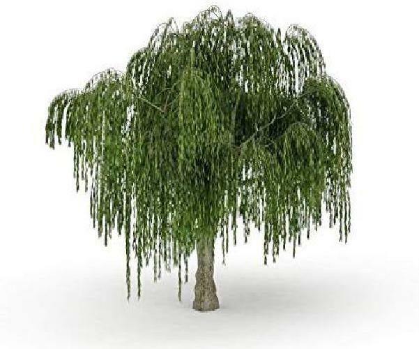 Dwarf Weeping Willow One Bonsai Tree Excellent Live Plant Small Indoor Outdoor For Sale Online