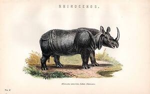 1880 Hand Farbig Aufdruck~Nashorn~Rhinocerus Unicornis~Indisch Rhino