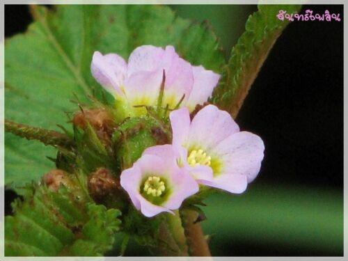 50 graines MELOCHIA corchorifolia เซ งใบมน plante annuelle facile Fleur