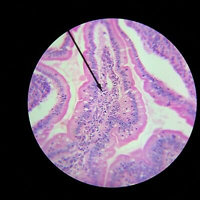 93 W 4518 Vintage Microscope Slide Wards Pyloric Stomach Mammal Sec 015