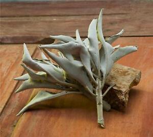 Bulk-Whole-CALIFORNIA-WHITE-SAGE-for-burning-Organic-Smudge-Herb-5-ounce-Bag