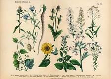 Hopfen-Tabak-Sonnenblume-Cichorie-Labkraut-Sonnenrose-Pflanzen-Lithographie 1869
