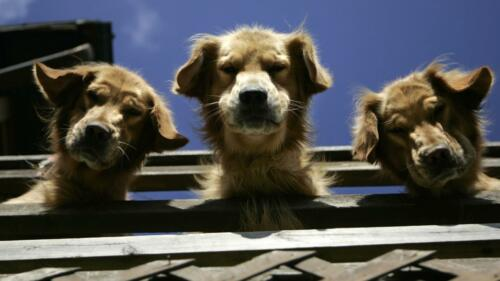 GOLDEN RETRIEVER PUPPIES GLOSSY POSTER PICTURE PHOTO PRINT dog scotland 4720