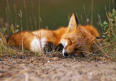 Framed Print - Red Fox Sleeping in the Wilderness (Wild Animal Picture Poster)