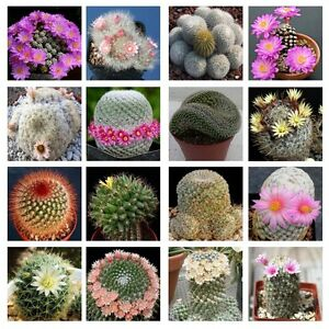 10-Mammillaria-mix-seeds-Easy-grow-Care-free-Cactus-succulent-CombSH-C32