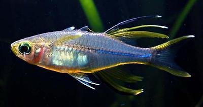 CELEBES RAINBOW FISH * Marosatherina ladigesi * RAINBOWFISH