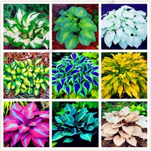 Hosta-100-PCS-Seeds-Plants-Bonsai-Flower-Easy-To-Grow-Home-Garden-NEW-2021-Hosta
