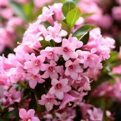 50 OLD FASHIONED WEIGELA Florida Bush Shrub Flower Seeds + Gift & Comb S/H