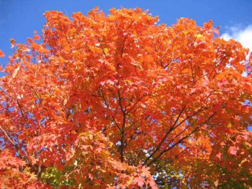 Acer Saccharum 5 x Sugar Maple Tree seeds Rock Maple