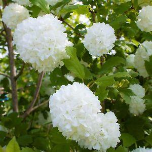 Image Is Loading Viburnum Opulus Roseum Snowball Garden Shrub