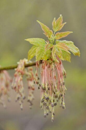 25 semi. ACER negundo-great per gli appassionati di bonsai