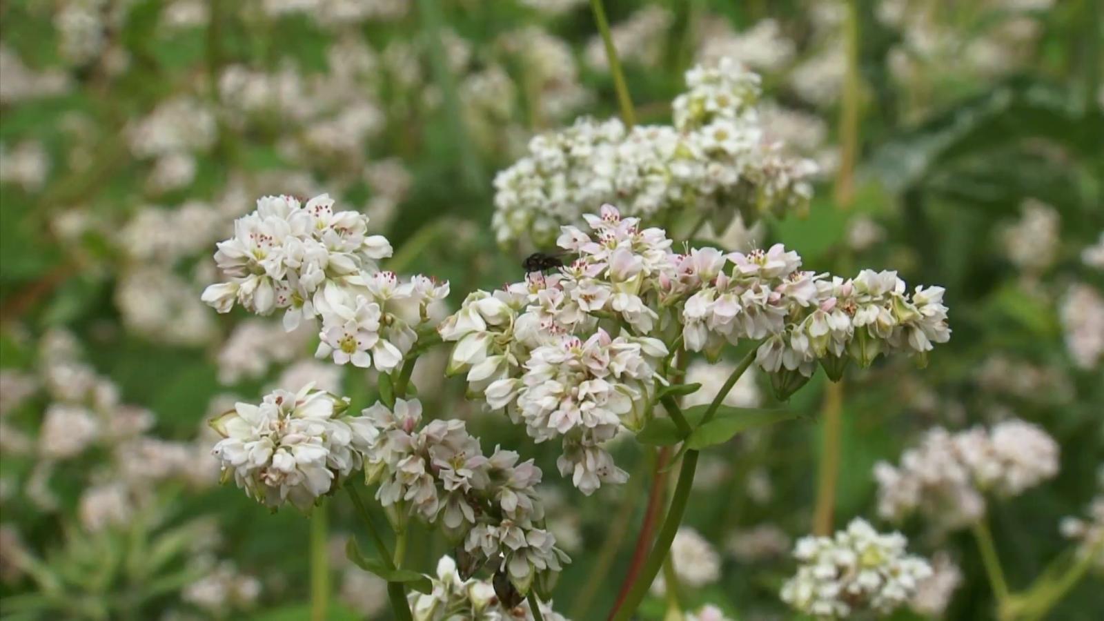 Buckwheat - Fagopyrum esculentum - 100+ seeds - Heirloom!