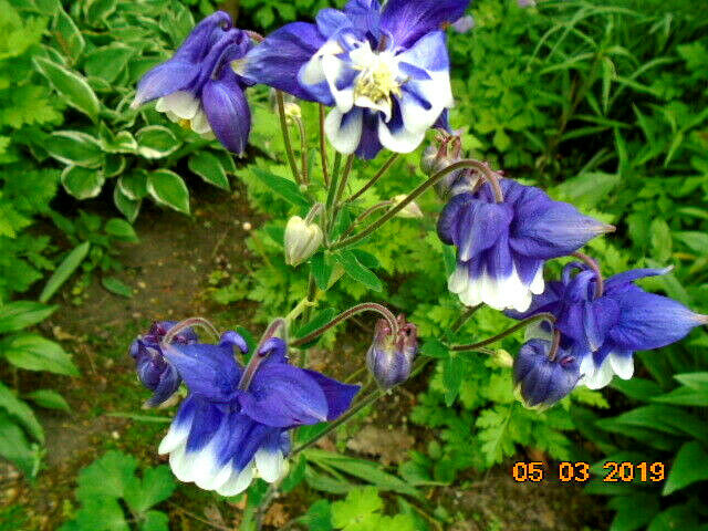Aquilegia Heavenly Blue White Columbine Flower Seeds Perennial