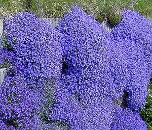 AUBRIETA-ROCK-CRESS-CASCADE-BLUE-Aubrieta-Hybrida-Superbissima-500-Bulk-Seeds