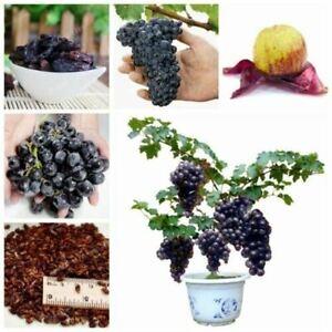50pcs Miniature Grape Vine Seed Grapevine Dwarf Rare Bonsai Plant Organic Viable Ebay