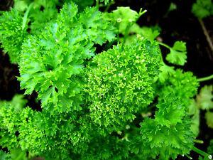 Parsley-Seeds-Herb-Curly-Heirloom-Herb-Seed