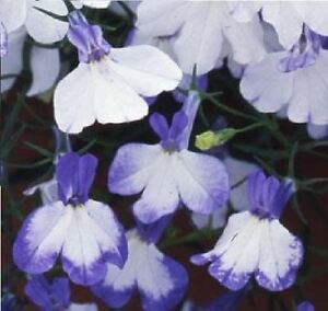 Flower Trailing Lobelia Regatta Blue Splash 1000 Seeds Ebay