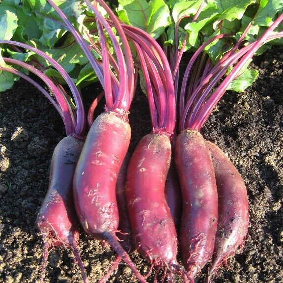 (148)'KINGS' QUALITY beet root alto f1 seeds - salad Vegetable