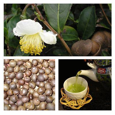 Japanese Green tea Camellia sinensis* FRESH SEEDS *Grow your own tea* #1A88#
