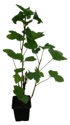 Rouge cassis-ROVADA-arbuste plante tardive variété avec Arôme