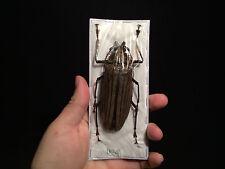 Insecte Entomologie Cerambycidae Femelle Xixuthrus microcerus lunicollis 102 mm!