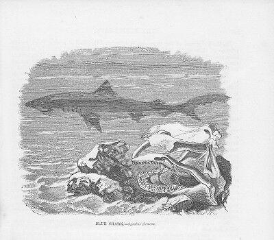 Offizielle Website Blauhai Prionace Glauca Haie Holzstich Von 1863 Blue Shark Sharks QualitäT Zuerst