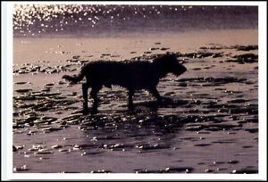 Neue-Motiv-Postkarte-Thema-Hunde-Dogs-Dog-Hund-trottet-durch-Wattenmeer