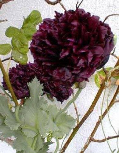 250 Double BLACK PEONY POPPY Papaver Peoniflorum Flower Seeds **Flat Ship /& Gift
