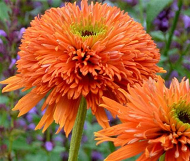Echinacea Seeds - COLORBURST ORANGE - Perennial, Hybrid Coneflower  - 15 Seeds