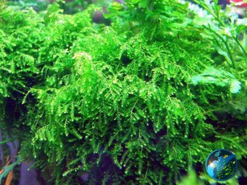 Weeping Moss-for live plant catfish cichlid aquarium B8