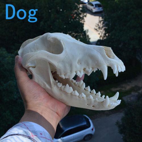 1pcs real Animal beast Skull specimen Collectibles Study Unusual Halloween