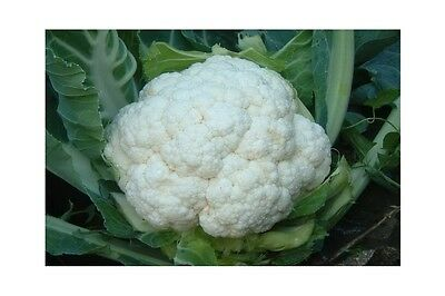 VEGETABLE  CAULIFLOWER SELF BLANCHE  500 SEEDS