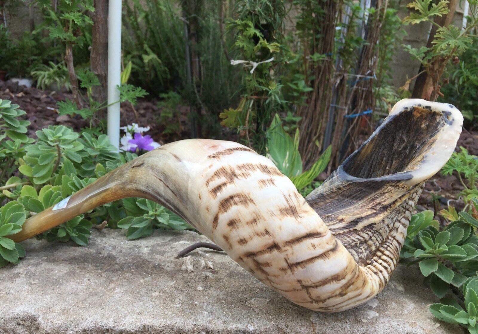 Natural Ram Horn Shofar 25cm-50cm New & KOSHER Made in Jerusalem ✡Free Shipping✡