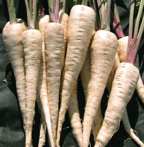Gemüse Pastinake Student Mindestens 1000 Samen