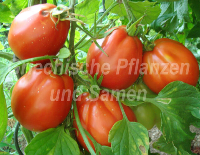 🔥 🍅 CUOR DI BUE DE LIGURE Tomate Ochsenherz Tomaten*10Samen