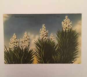 Card-Americana-Yucca-in-bloom-in-Florida-6599-post-Card-Cactus-C3